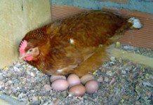 Como ter uma criação de galinhas poedeiras